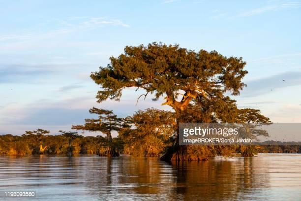 bald cypresses (taxodium distichum) in water at sunset, atchafalaya basin, louisiana, usa - 落羽松 ストックフォトと画像