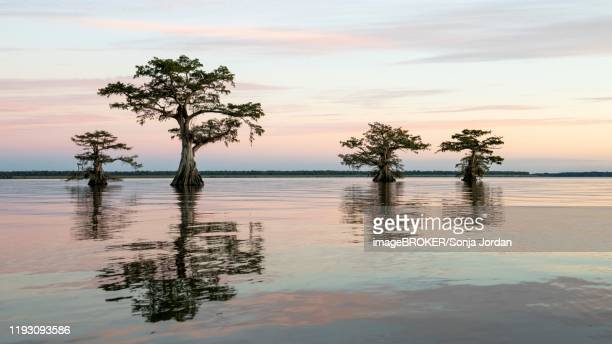 bald cypresses (taxodium distichum) in water, dusk, atchafalaya basin, louisiana, usa - bald cypress tree stock pictures, royalty-free photos & images