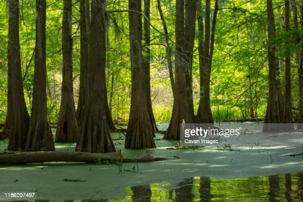 bald cypresses lake martin, breaux bridge, louisiana,  usa - swamp stock pictures, royalty-free photos & images