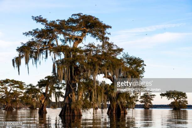 bald cypresses (taxodium distichum) with spanish moss (tillandsia usneoides) in water, atchafalaya basin, louisiana, usa - bald cypress tree stock pictures, royalty-free photos & images