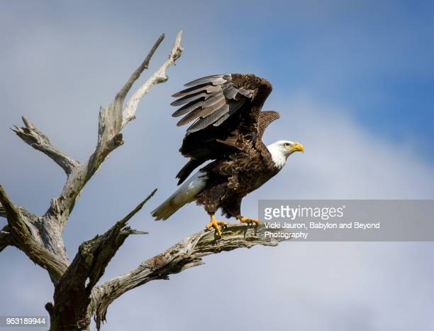 bald eagle about to take off with wings up - perching stock photos and pictures