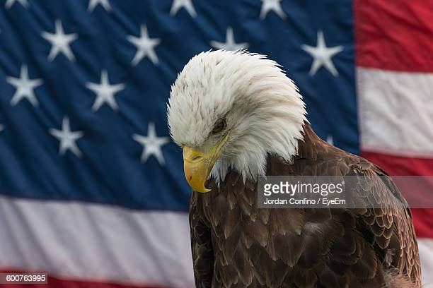 bald eagle against american flag - bald eagle with american flag stock pictures, royalty-free photos & images