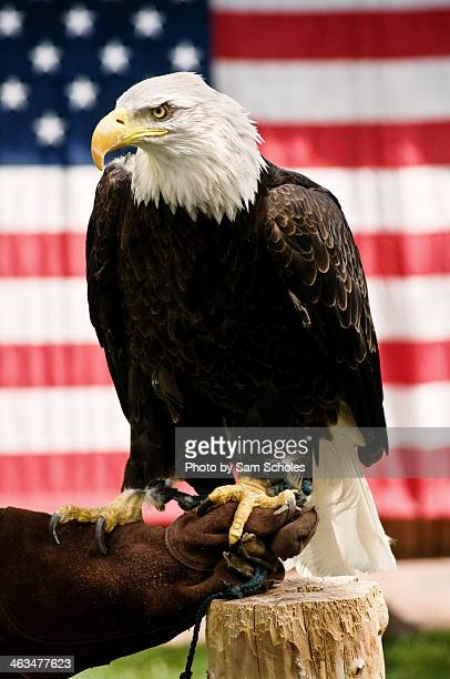 bald eagle against the american flag background - american flag eagle stock pictures, royalty-free photos & images
