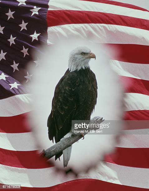 bald eagle and american flag  - {{ contactusnotification.cta }} stock pictures, royalty-free photos & images
