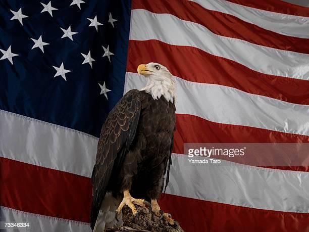 bald eagle (haliaeetus leucocephalus) and american flag - bald eagle with american flag stock pictures, royalty-free photos & images