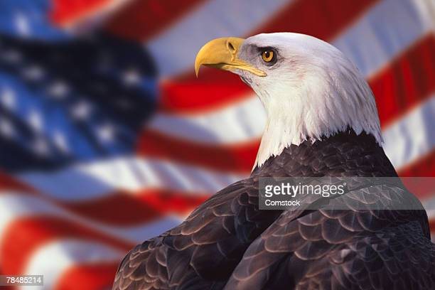 bald eagle and american flag - eagle stock pictures, royalty-free photos & images