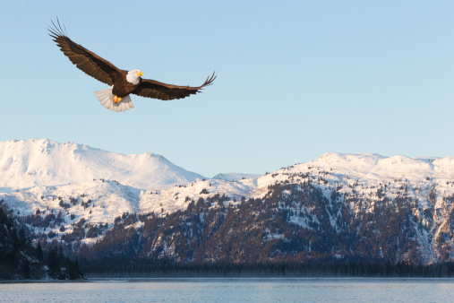 Bald Eagle and Snow Covered Mountains 155350829