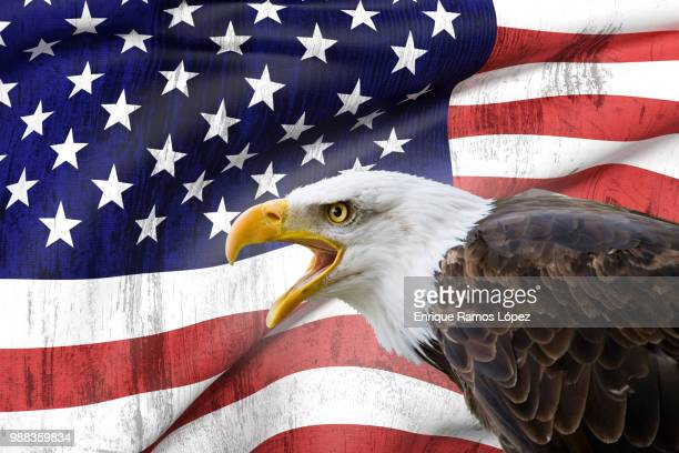 bald eagle and usa flag - bald eagle with american flag stock pictures, royalty-free photos & images