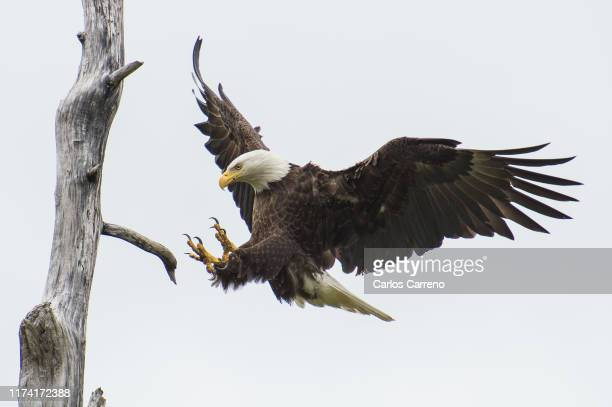 bald eagle approaching landing - eagle stock pictures, royalty-free photos & images