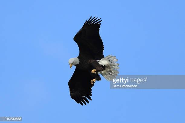 Bald eagle as seen during a practice round prior to the Arnold Palmer Invitational Presented by MasterCard at Bay Hill Club and Lodge on March 03,...