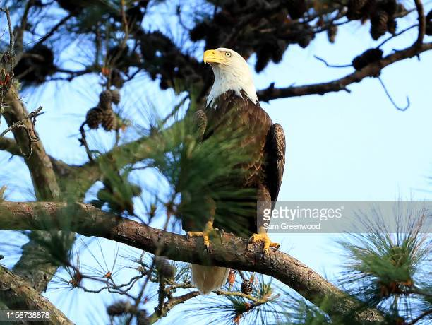 Bald eagle as seen during the second round of The PLAYERS Championship at the TPC Stadium course on March 15, 2019 in Ponte Vedra Beach, Florida.