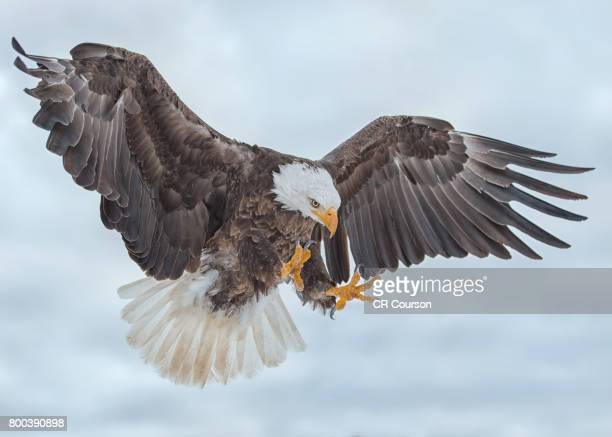 Bald Eagle Ascending From the Clouds