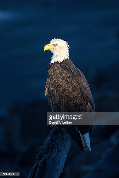 Bald Eagle at Dawn