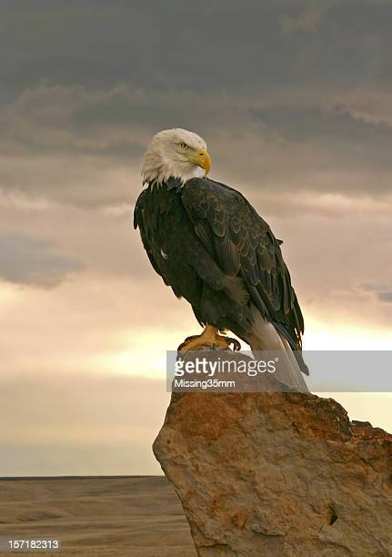 bald eagle at sunrise - perching stock photos and pictures