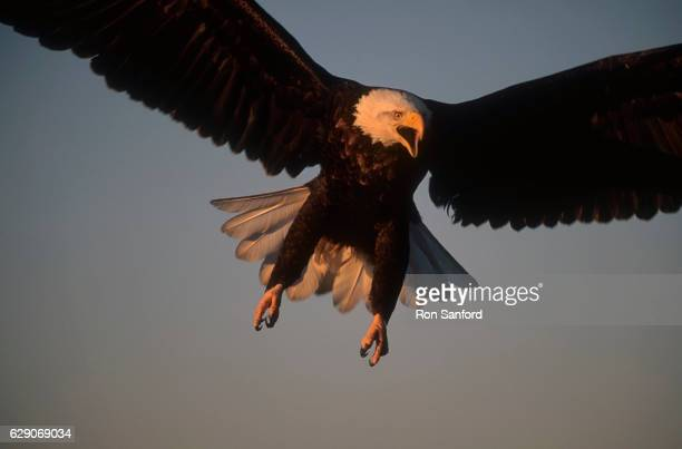 bald eagle attack. - kachemak bay stock pictures, royalty-free photos & images