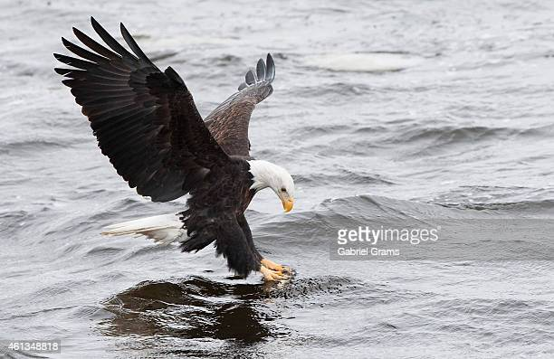 A bald eagle attempts to catch a fish at Mississippi River on January 11 2015 in Rock Island Illinois