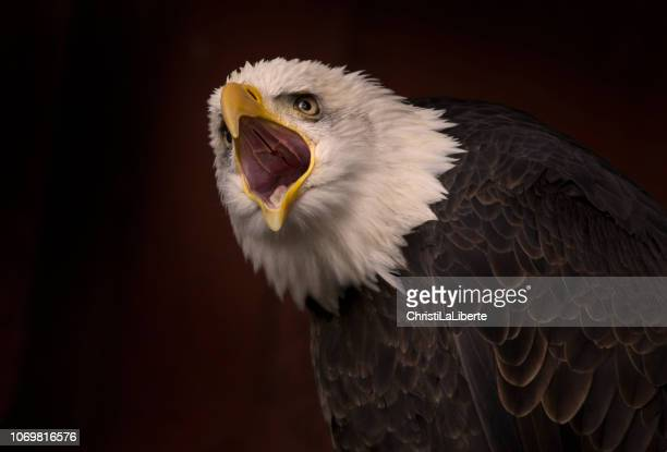 bald eagle calling - eagle stock pictures, royalty-free photos & images
