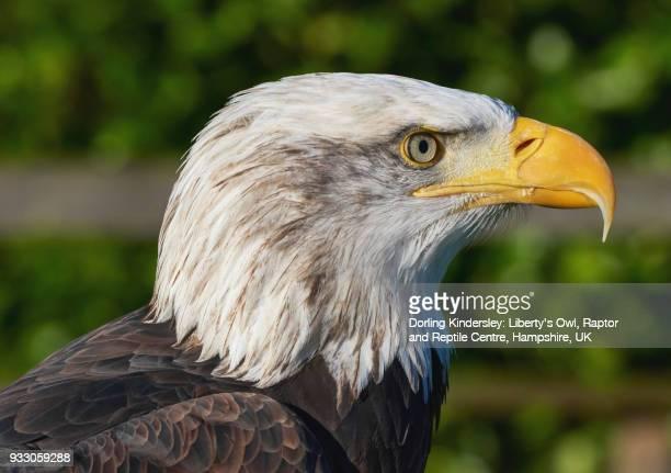 Bald eagle (Haliaeetus leucocephalus), captive