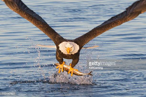 bald eagle catching a fish - eagle stock pictures, royalty-free photos & images
