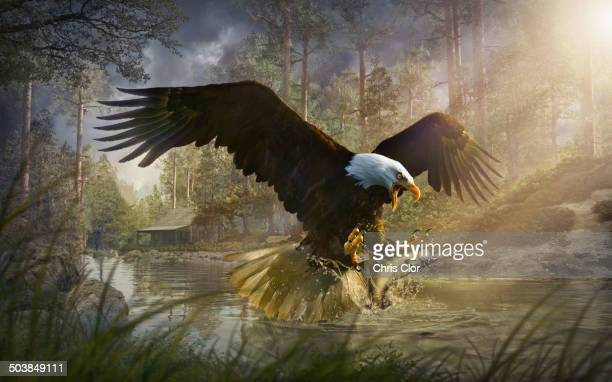 Bald eagle catching fish from rural river
