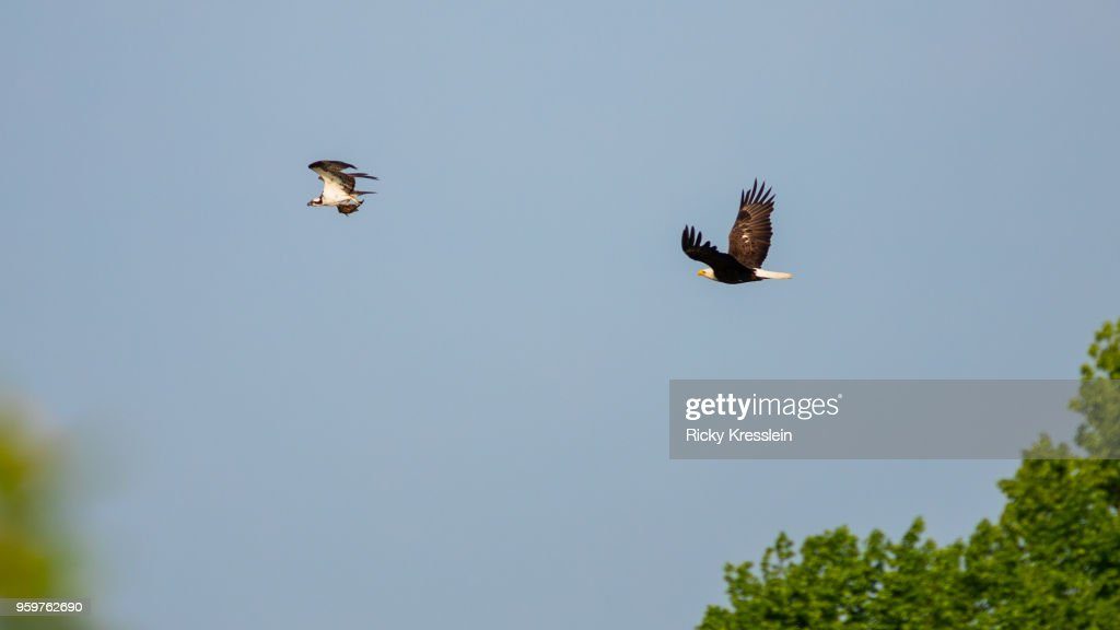 Bald Eagle Chasing An Osprey : Stock-Foto