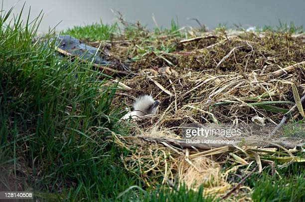 bald eagle chick in nest, haliaeetus leucocephalus. unalsaka island, dutch harbor, alaska. usa - dutch harbor stock photos and pictures