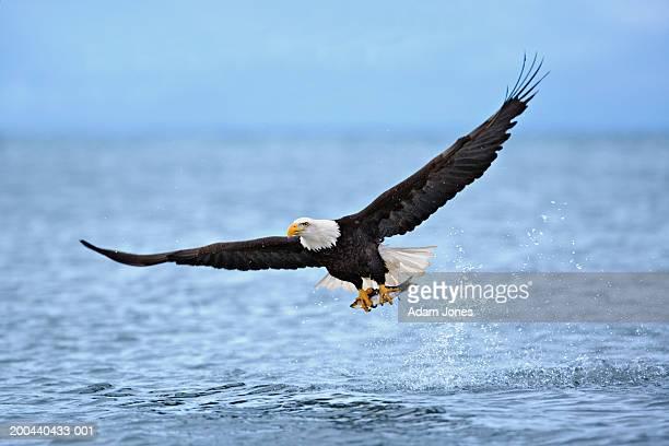 bald eagle (haliaeetus leucocephalus) clutching fish in talons - kachemak bay stock pictures, royalty-free photos & images