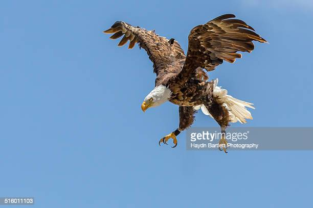 Bald Eagle dives towards its prey
