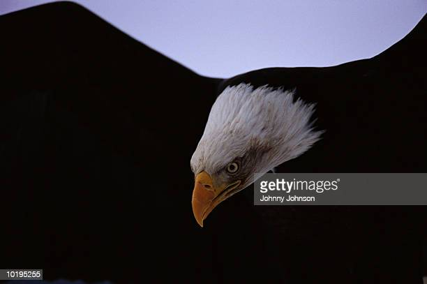bald eagle (haliaeetus leucocephalus ) extending wings, close-up - territory stock pictures, royalty-free photos & images
