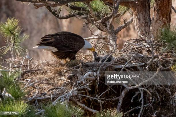 bald eagle feedling you eagle eaglet in nest in smith rock, oregon - eagle nest stock photos and pictures