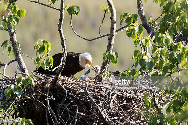 Bald eagle (Haliaeetus leucocephalus) feeds chick in its nest at Potter Marsh