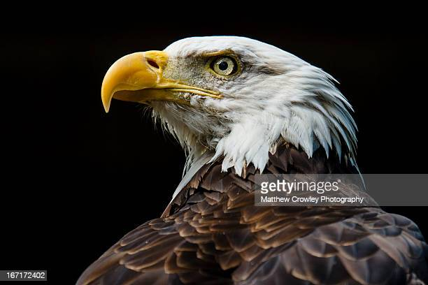 bald eagle fierce gaze - eagle stock pictures, royalty-free photos & images