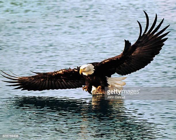 bald eagle fishing - home run ストックフォトと画像