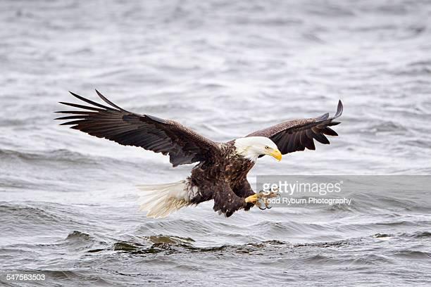 bald eagle fishing - eagle golf stockfoto's en -beelden