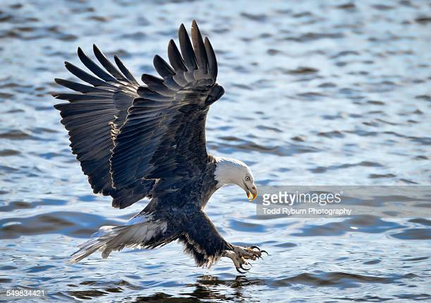 bald eagle fishing - eagle golf stockfoto's en -beelden