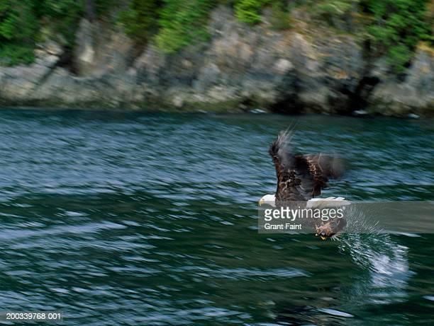 Bald eagle (Haliaetus leucocephalus) fishing, side view
