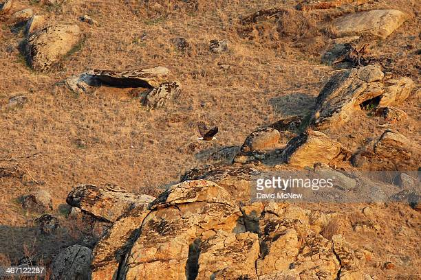 A bald eagle flies along a hillside of rocks and dead grass on February 5 2014 near Visalia California Now in its third straight year of...