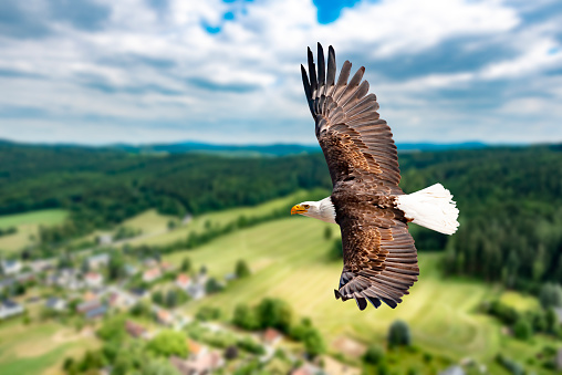 Ein Weißkopfseeadler fliegt in großer Höhe am Himmel und sucht Beute. Es sind Wolken am Himmel aber es herrscht klare Sicht bei strahlender Sonne. 1126057503