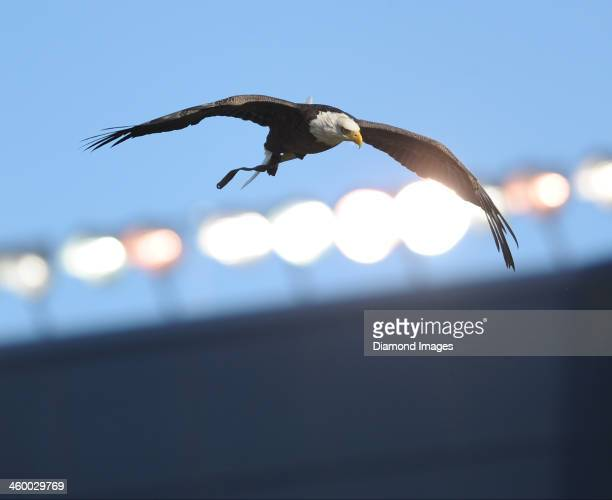 Bald eagle flies in the air before landing on the field before a game between the Ohio State Buckeyes and the Michigan Wolverines at Michigan Stadium...