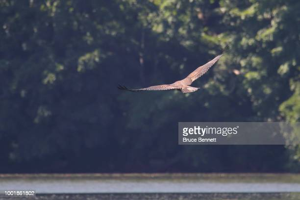 A bald eagle flies over Mill Pond on July 11 2018 in Centerport New York