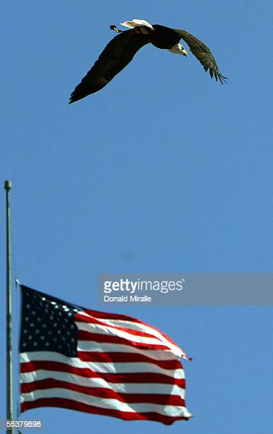 A bald eagle flies past an American Flag before the start of the San DIego Chargers and the Dallas Cowboys NFL Game on September 11 2005 at Qualcomm...