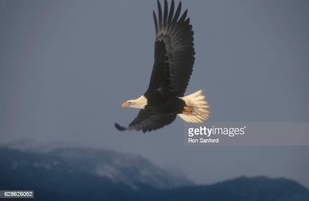 bald eagle flight over kachemak bay. - kachemak bay stock pictures, royalty-free photos & images
