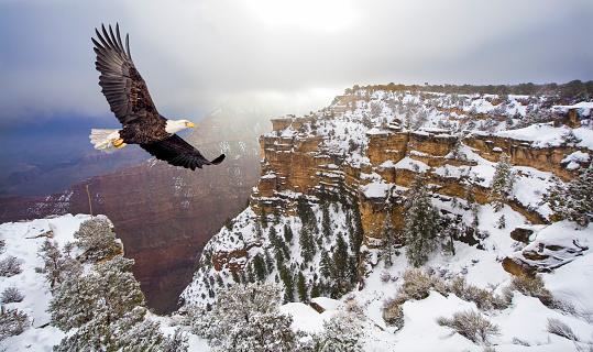 Bald eagle flying above grand canyon 470848622