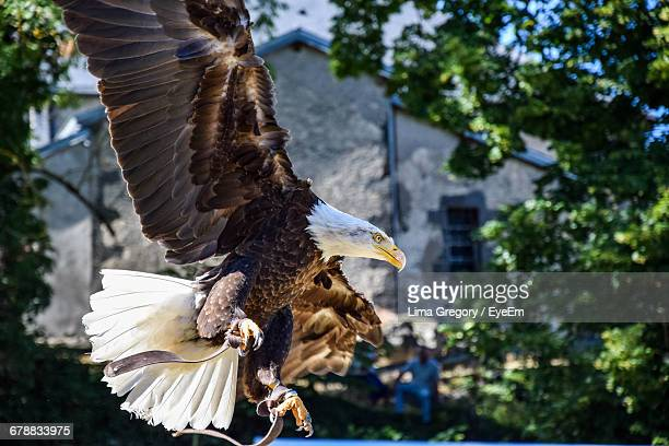 Bald Eagle Flying Against House And Trees
