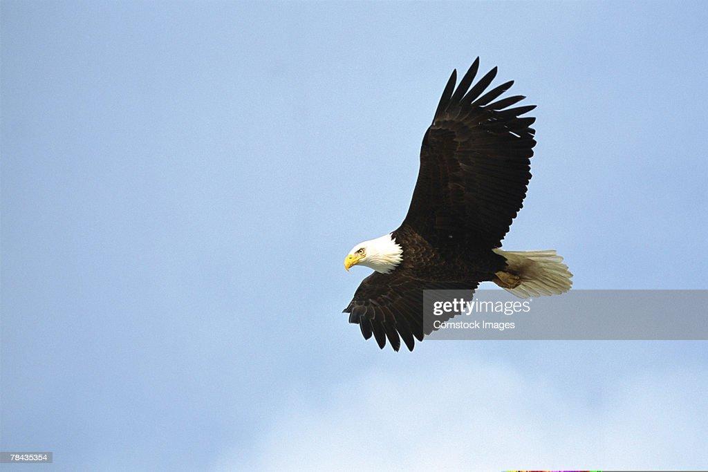 Bald eagle flying , Alaska : Stockfoto