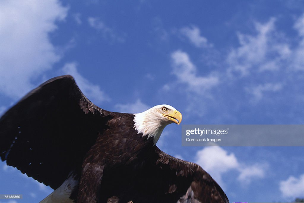Bald eagle flying , Alaska : Stockfoto