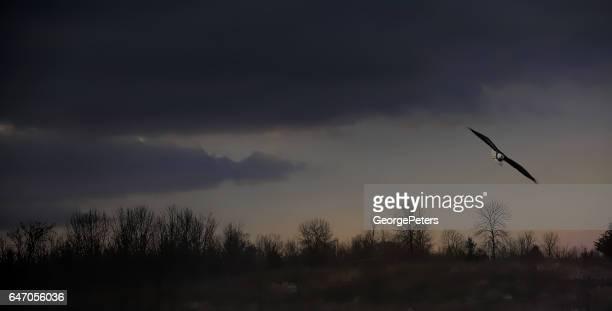 白頭ワシの飛行と闇の劇的な空