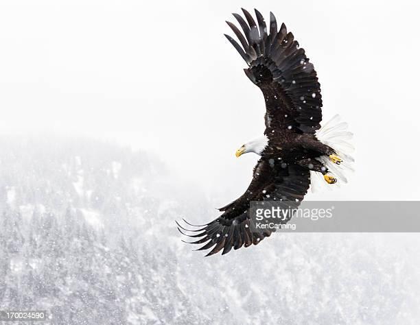 Pygargue à tête blanche volant dans une tempête de neige