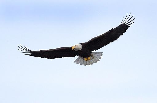 Bald Eagle flying isolated in Alaska 175427630