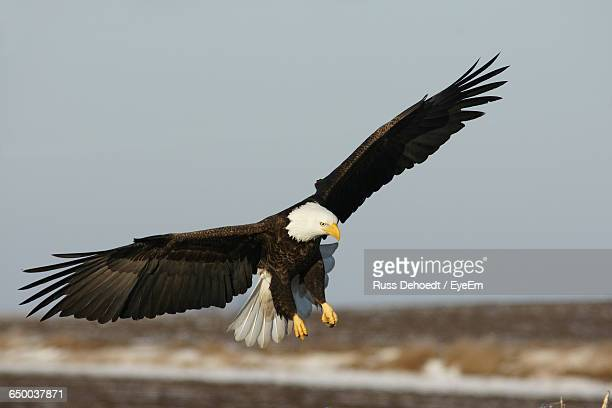 Bald Eagle Flying Over Field Against Clear Sky